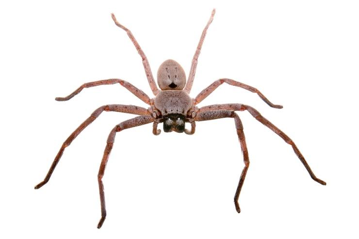 Huntsman_spider_white_bg